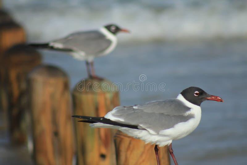 Imagem ascendente próxima dos pássaros que estão em um cargo na praia imagem de stock