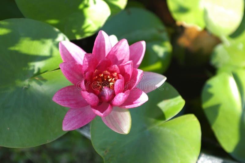 Imagem ascendente próxima na folha cor-de-rosa de florescência de Lotus do fundo natural de flor de lótus, Lily Pad com espaço da imagem de stock royalty free