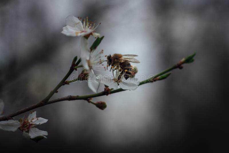 Imagem bonita da abelha no fim da flor branca acima do macro quando co foto de stock royalty free
