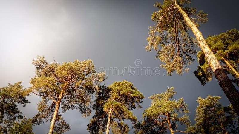 Imagem bonita das nuvens chuvosas pretas escuras que voam sobre pinheiros altos na natureza da calma da floresta antes da tempest imagens de stock