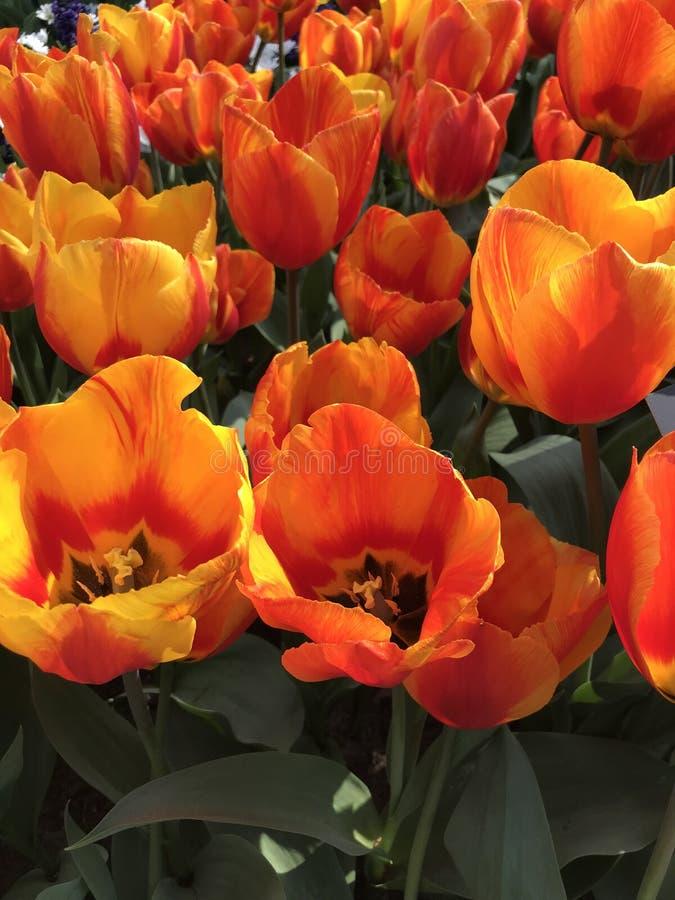Imagem bonita de arder tulipas alaranjadas fotos de stock