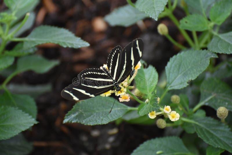Imagem bonita de uma borboleta da zebra na primavera fotografia de stock