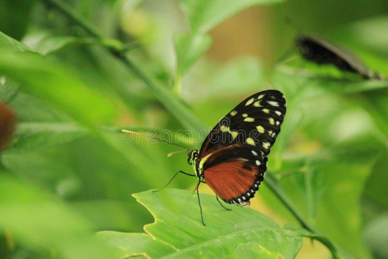 Imagem bonita de uma borboleta dourada de Helicon que senta-se nas folhas verdes imagem de stock