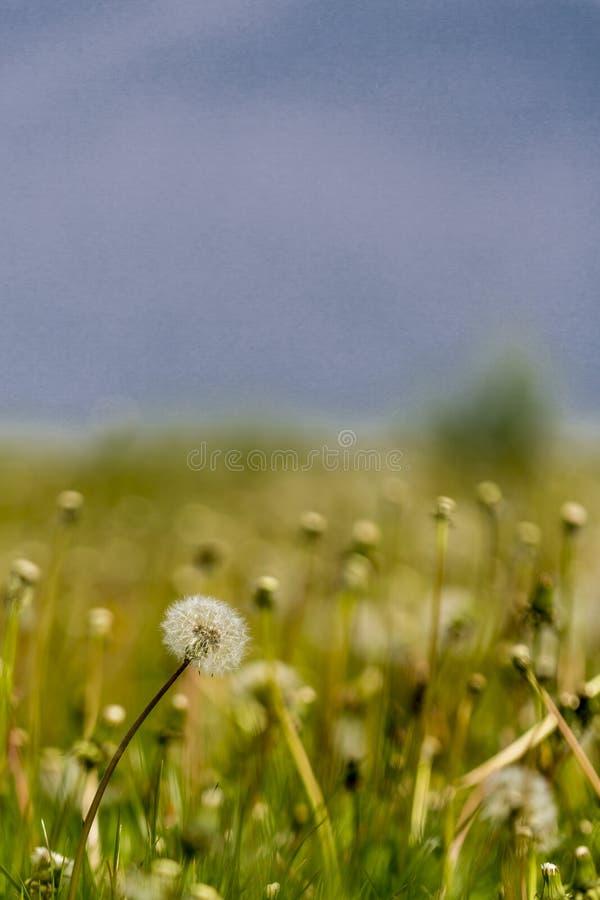 Imagem bonita de uma flor do dente-de-leão em um prado verde fotografia de stock