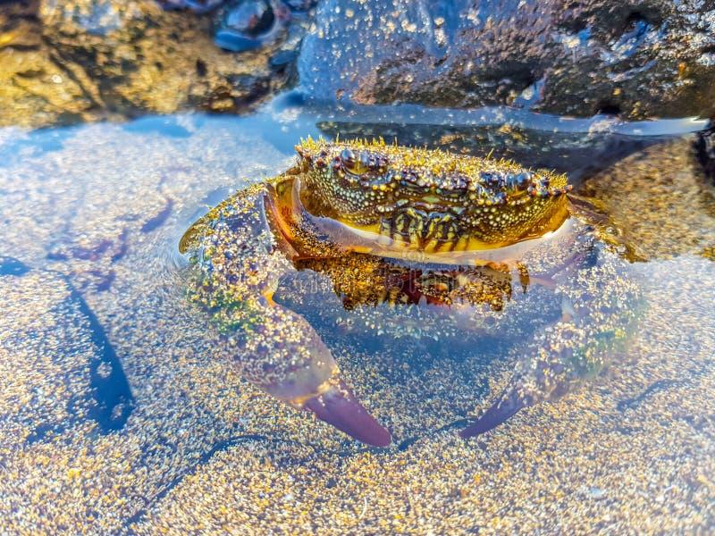 Imagem bonita de uma metade do caranguejo do mar coberta pela água imagem de stock