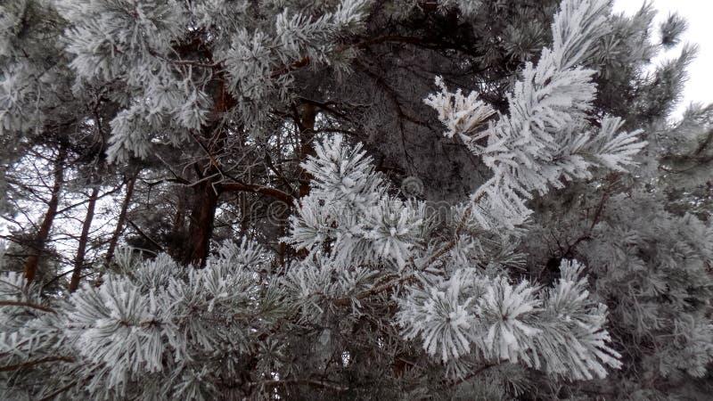 Imagem bonita do inverno landscape Fundo abstrato da floresta do pinho Papel de parede dos ramos dos pinhos imagem de stock royalty free