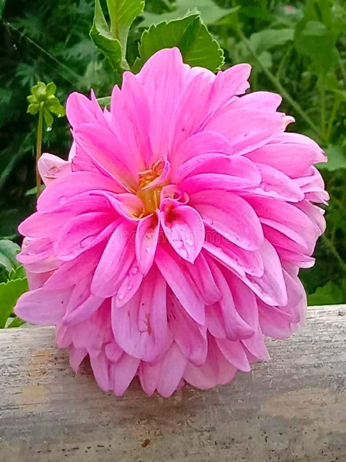 Imagem bonita do papel de parede da flor da dália ilustração royalty free