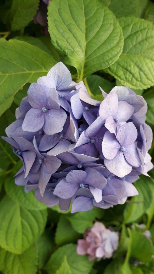 Imagem bonita Flor roxa bonita grin fotografia de stock royalty free
