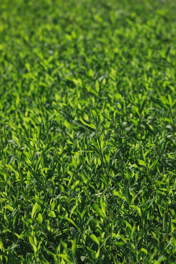 Imagem borrada da grama verde sob a luz solar brilhante Fundo, efeito do filme e processamento abstratos do autor fotografia de stock royalty free