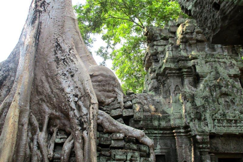 Imagem cl?ssica da ?rvore de Camboja Angkor Wat Ta Prom imagem de stock