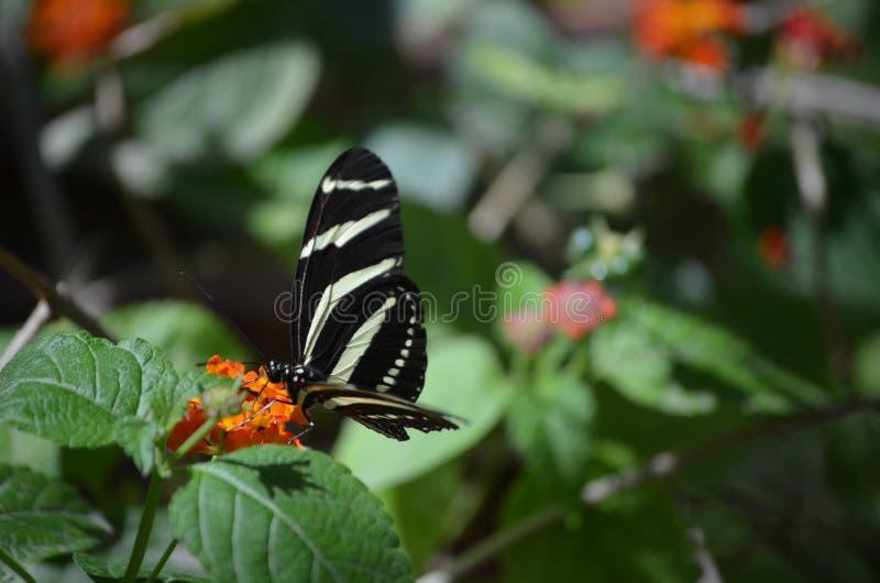 Imagem colorida de uma borboleta da zebra na primavera imagens de stock