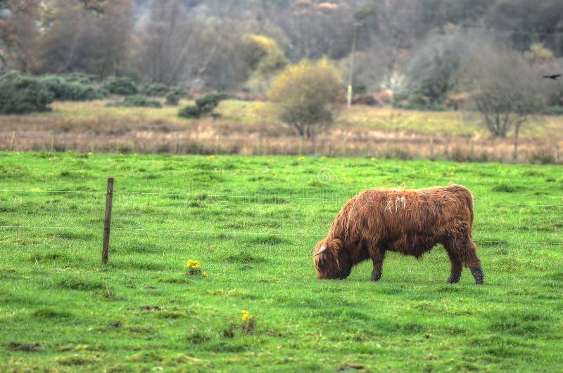 Imagem conservada em estoque de Escócia Angus Bulls e vacas foto de stock