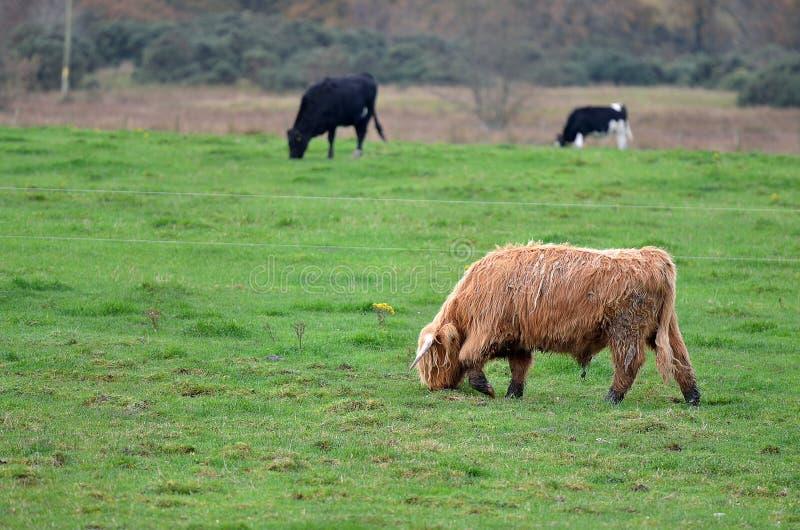 Imagem conservada em estoque de Escócia Angus Bulls e vacas imagens de stock
