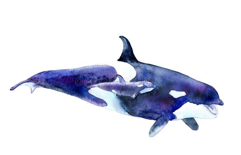 Imagem da aquarela Baleia de assassino com bebê Orca do Orcinus ilustração royalty free