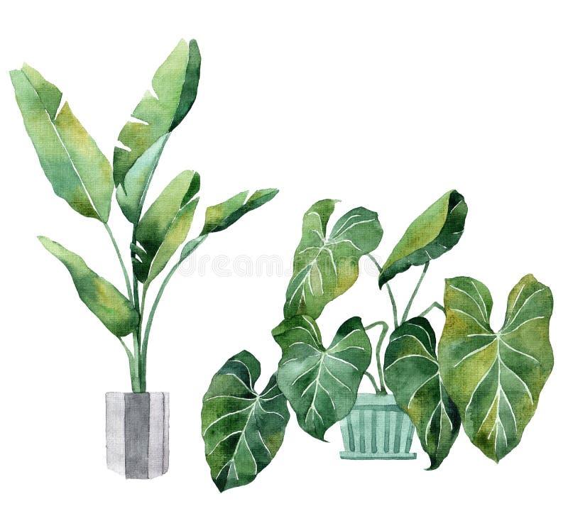 Imagem da aquarela com folhas tropicais e folhas de plantas internas Planta home em uns potenci?metros greenery suculento Ilustra ilustração do vetor
