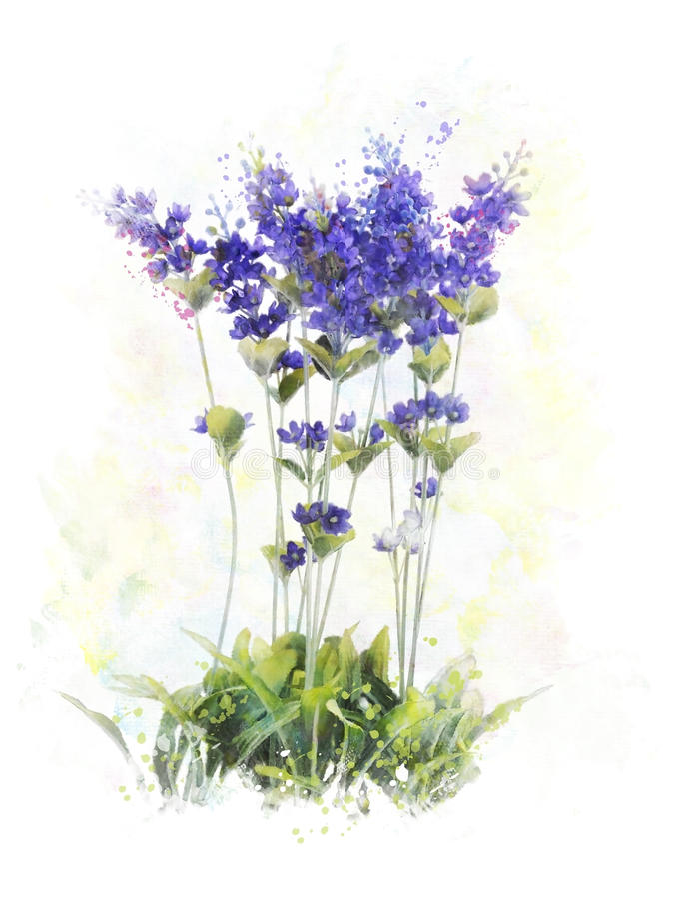 Imagem da aquarela de flores da alfazema ilustração royalty free