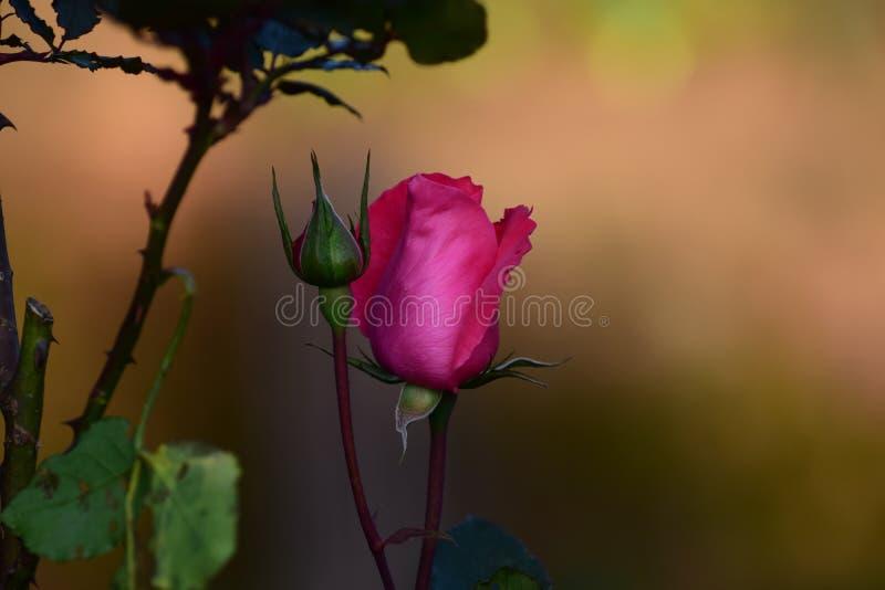 Imagem da flor cor-de-rosa escura de Rosa pronta para florescer imagens de stock royalty free