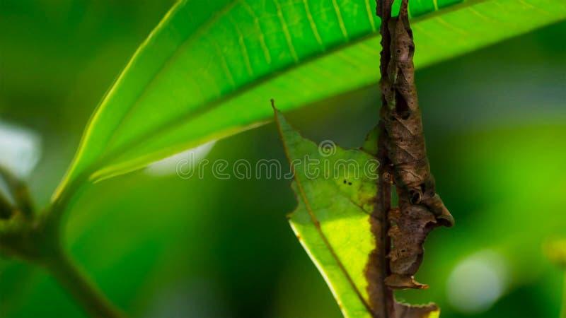 Imagem da lagarta marrom em um ramo marrom fotografia de stock royalty free