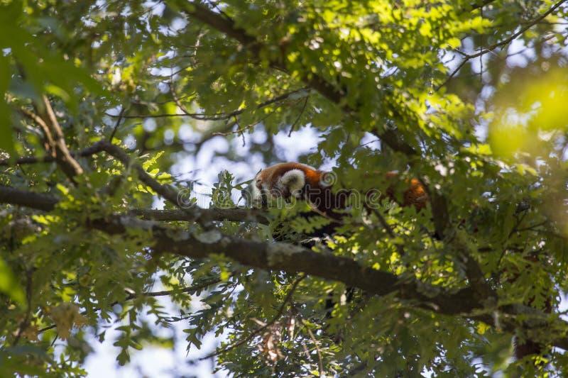 Imagem da mini panda vermelha chinesa que dorme em um ramo de árvore imagem de stock