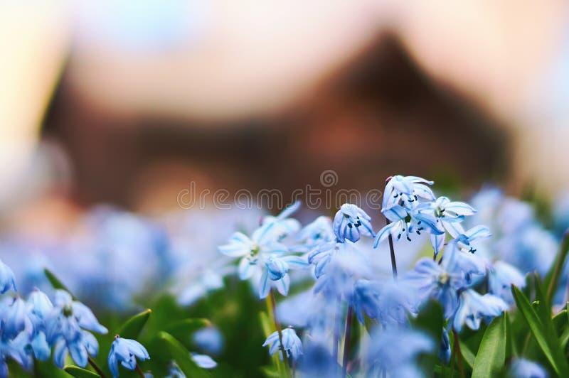 A imagem da mola escandinava com o siberica azul bonito do scilla floresce com a casa de madeira defocused no fundo fotografia de stock