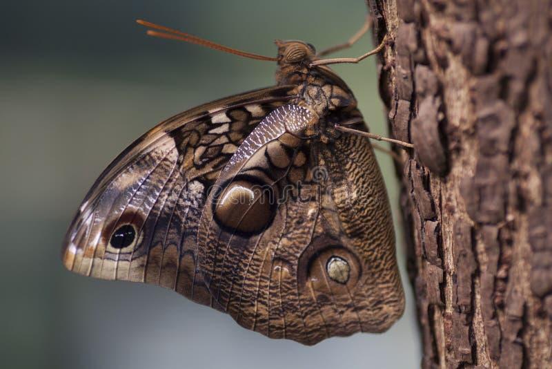 Imagem da natureza de uma borboleta grande imagens de stock