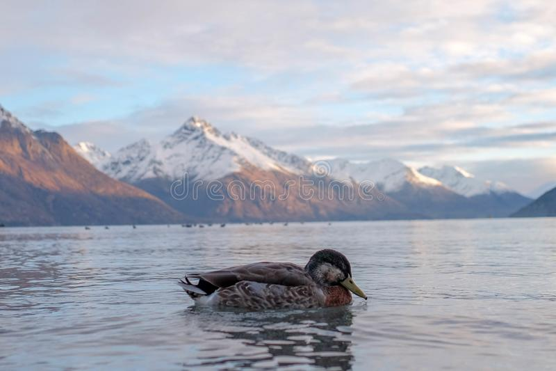 Imagem da paisagem natural de um pato que atravessa o lago e a montanha foto de stock
