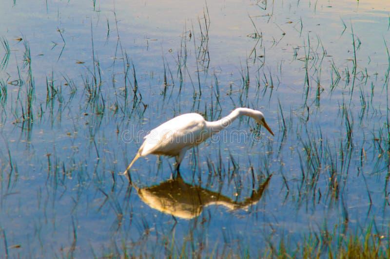 Imagem da reflexão do Egret fotografia de stock