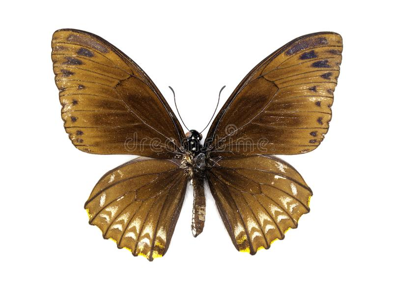 A imagem da terra comum mimica o clytia de Butterfly Chilasa imagens de stock royalty free