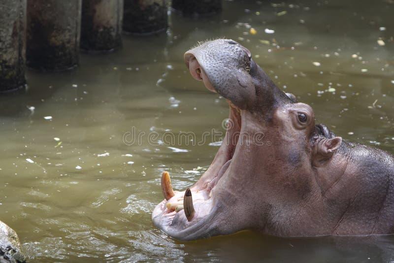 Imagem da vista lateral da boca da abertura do hipopótamo usando-se para o fundo foto de stock royalty free