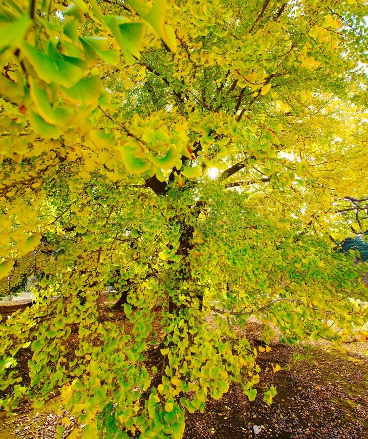 Imagem de árvores da nogueira-do-Japão fotografia de stock