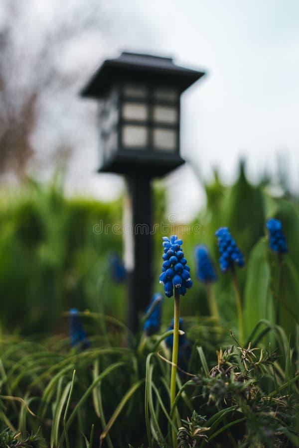 Imagem de botryoides azuis bonitos do Muscari - jacinto de uva no jardim no por do sol Foto ascendente pr?xima do jacinto de uva  imagem de stock