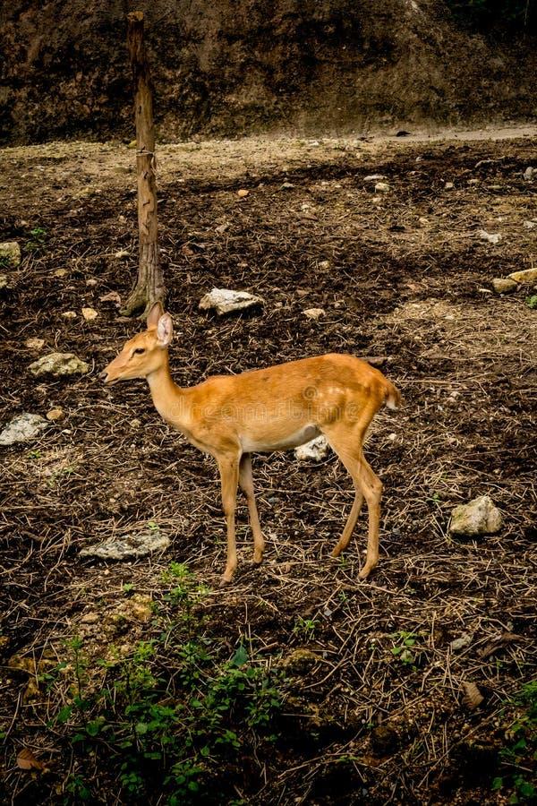 Imagem de cervos do ` s de Eld foto de stock