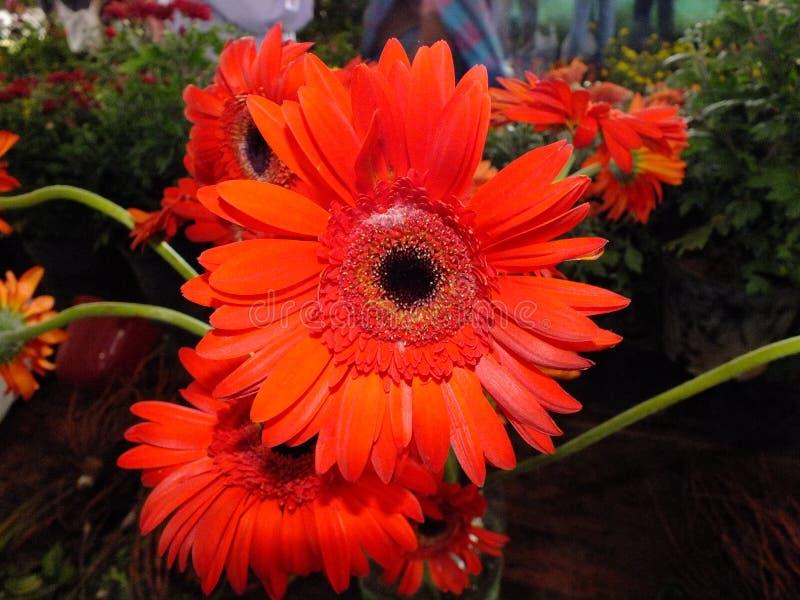 Imagem de flores coloridas alaranjadas da dália fotos de stock royalty free