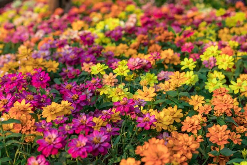 A imagem de fundo das flores coloridas, flores coloridas fotografia de stock