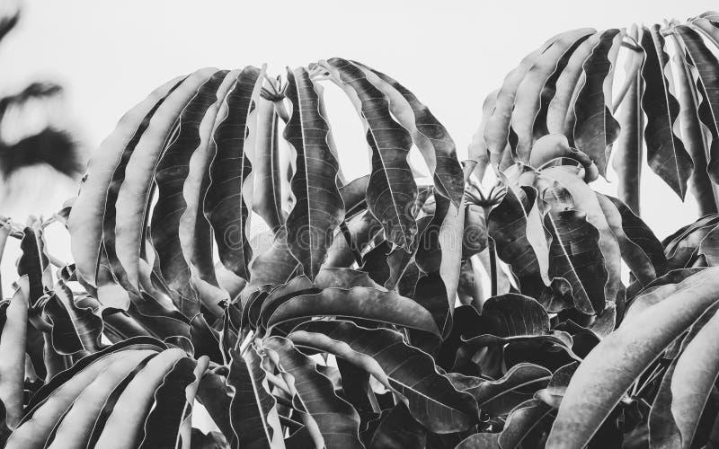 Imagem de fundo preto e branco bonita de uma árvore de guarda-chuva do anão fotografia de stock royalty free