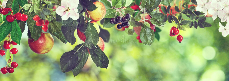 Imagem de maçãs e de cerejas doces em uma árvore, imagem de stock