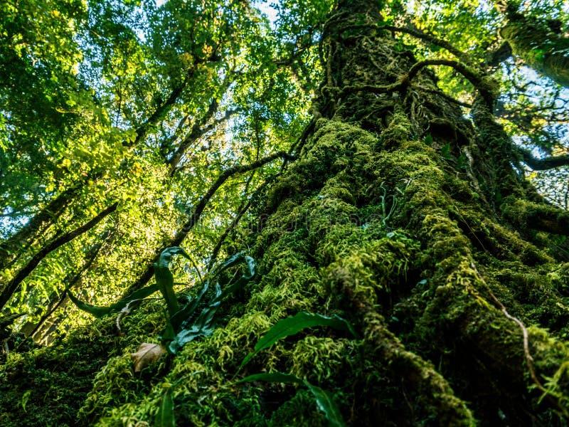 Imagem de Ooutdoor das raizes gigantescas de uma árvore velha, cobertas com o musgo, floresta musgoso molhada da relíquia misteri foto de stock royalty free