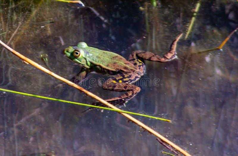 Imagem de Pelophylax esculentus A rã-serrana híbrida, também conhecida como rã comum ou rã verde, é um anfíbio da régia ffa Ranid fotos de stock royalty free
