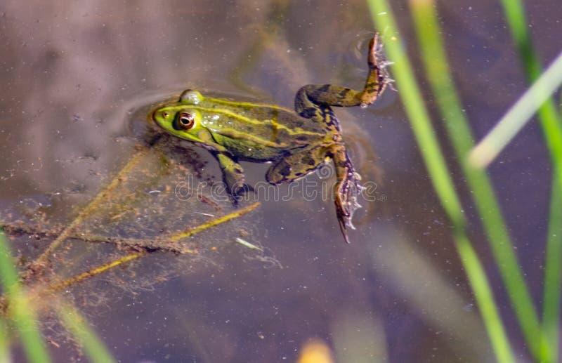 Imagem de Pelophylax esculentus A rã-serrana híbrida, também conhecida como rã comum ou rã verde, é um anfíbio da régia ffa Ranid foto de stock royalty free