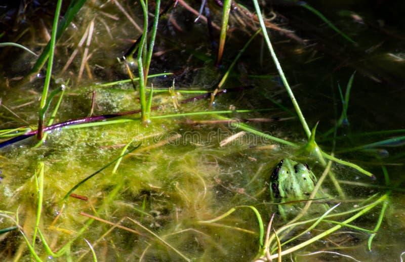 Imagem de Pelophylax esculentus A rã-serrana híbrida, também conhecida como rã comum ou rã verde, é um anfíbio da régia ffa Ranid imagem de stock royalty free