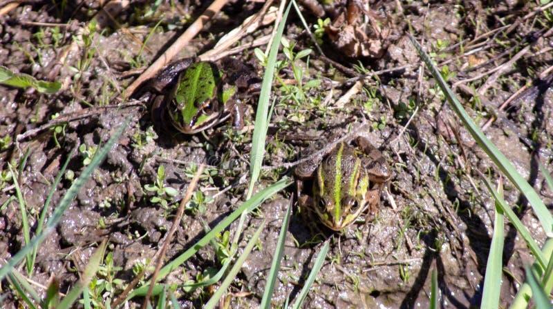 Imagem de Pelophylax esculentus A rã-serrana híbrida, também conhecida como rã comum ou rã verde, é um anfíbio da régia ffa Ranid fotos de stock