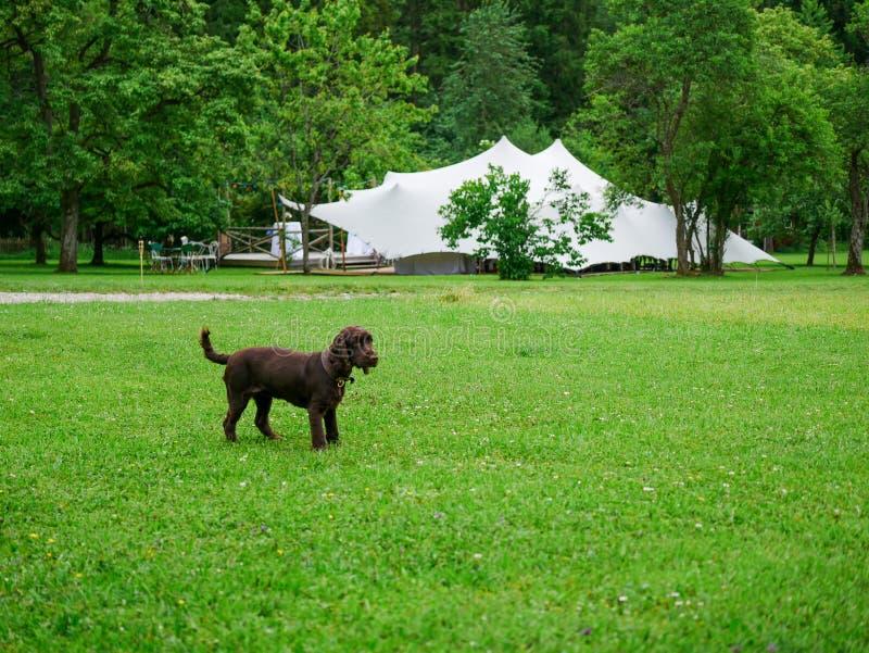 Imagem de pouco cão na frente de uma barraca branca grande do casamento fotos de stock