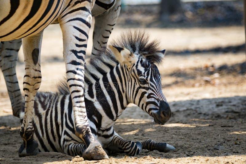 Imagem de um bebê da zebra na terra fotografia de stock