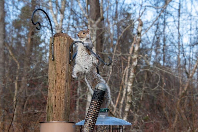 Imagem de um Esquilo cinzento oriental em pé no stud fotos de stock