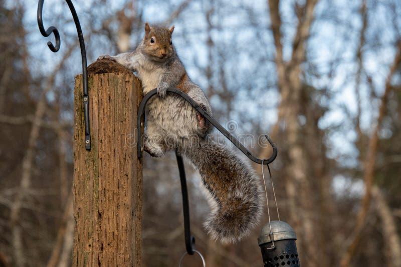 Imagem de um Esquilo cinzento oriental em pé no stud imagem de stock royalty free