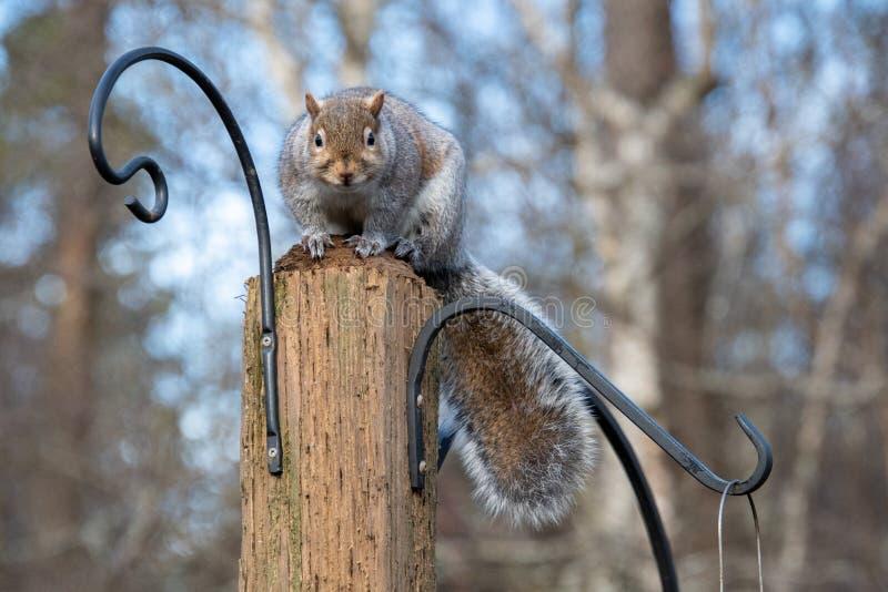 Imagem de um Esquilo cinzento oriental em pé no stud imagem de stock