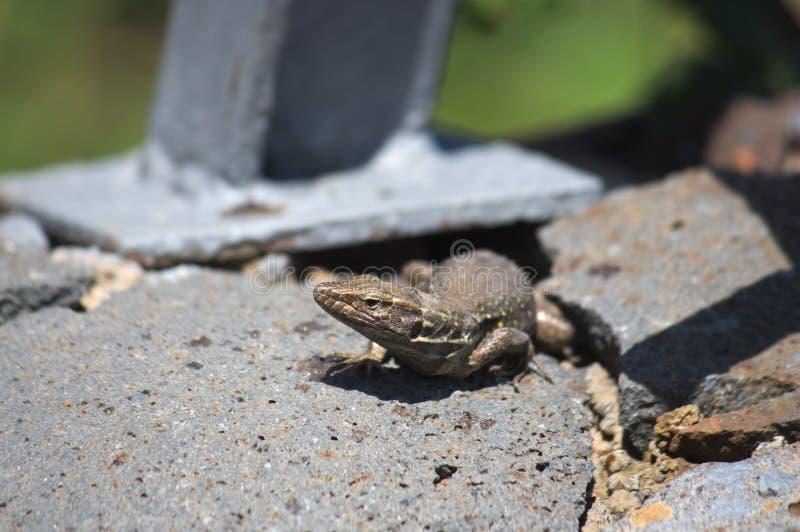 Imagem de um lagarto fêmea de Tenerife fotografia de stock royalty free