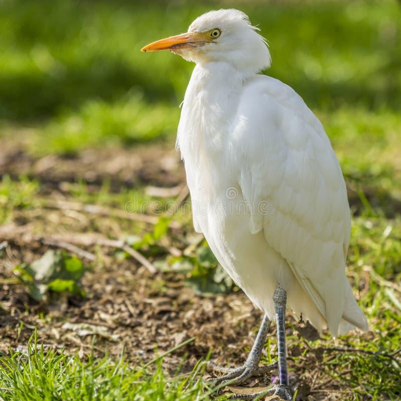 Imagem de um pássaro do Egret nevado com um fundo verde fotografia de stock royalty free