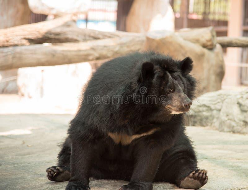 Imagem de um urso preto imagens de stock