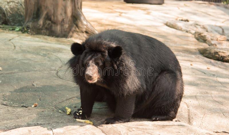 Imagem de um urso preto fotografia de stock